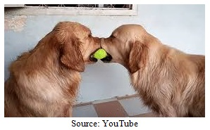 Two Dogs Want the Same Ball Image